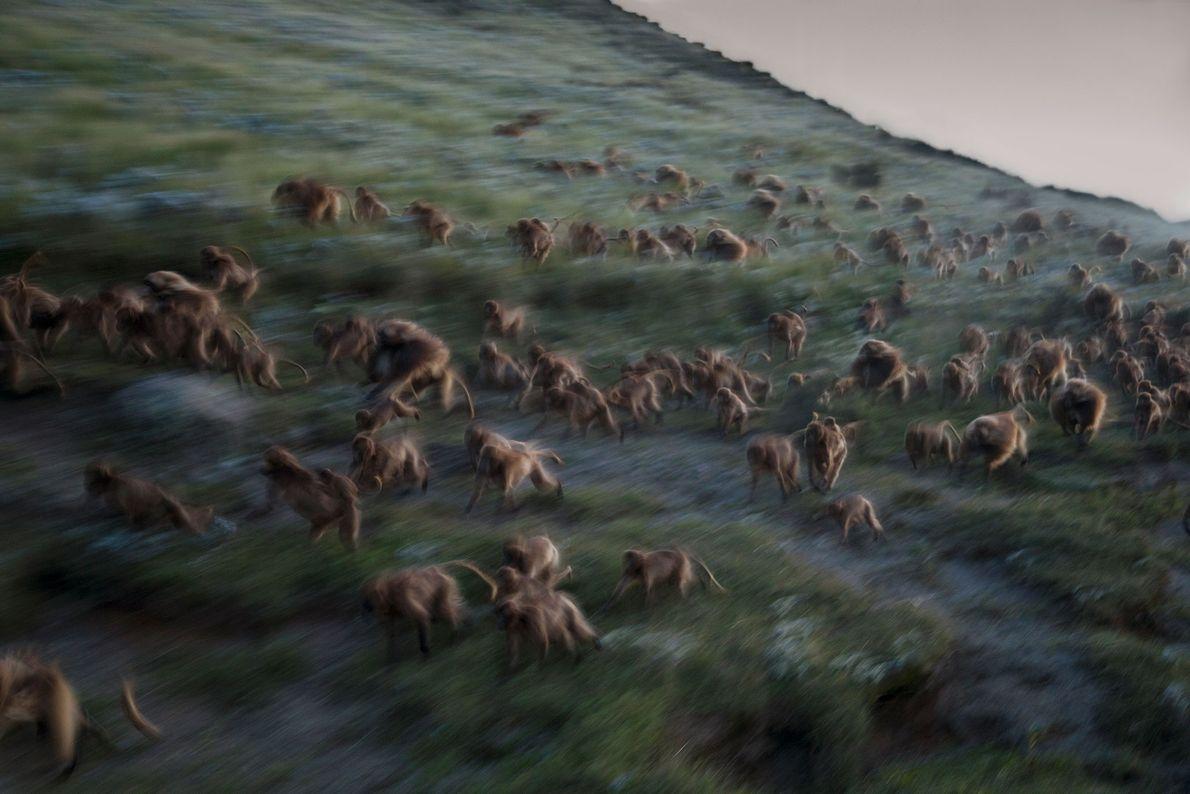 Wenn die Dunkelheit sich über das Land senkt, rennen die Dscheladas in Guassa, Äthiopien, einen Hügel ...