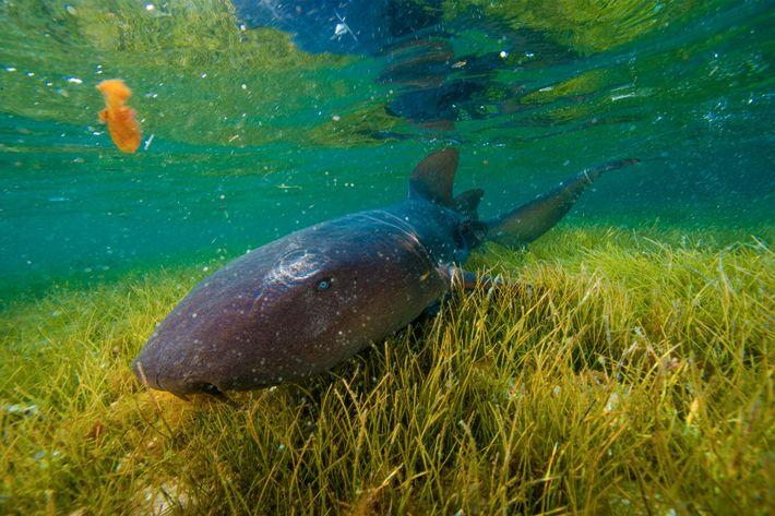 Ein Ammenhai erkundet ein Seegrasgebiet vor der Insel Half Moon Caye.