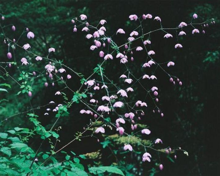 Leuchtende rosa Blüten sprenkeln die grüne Landschaft Bhutans.