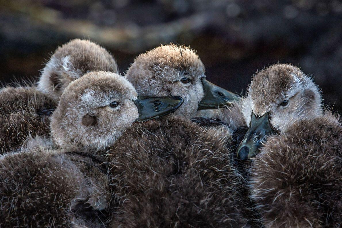 Vier Entenküken kuscheln sich aneinander. Falkland-Inseln