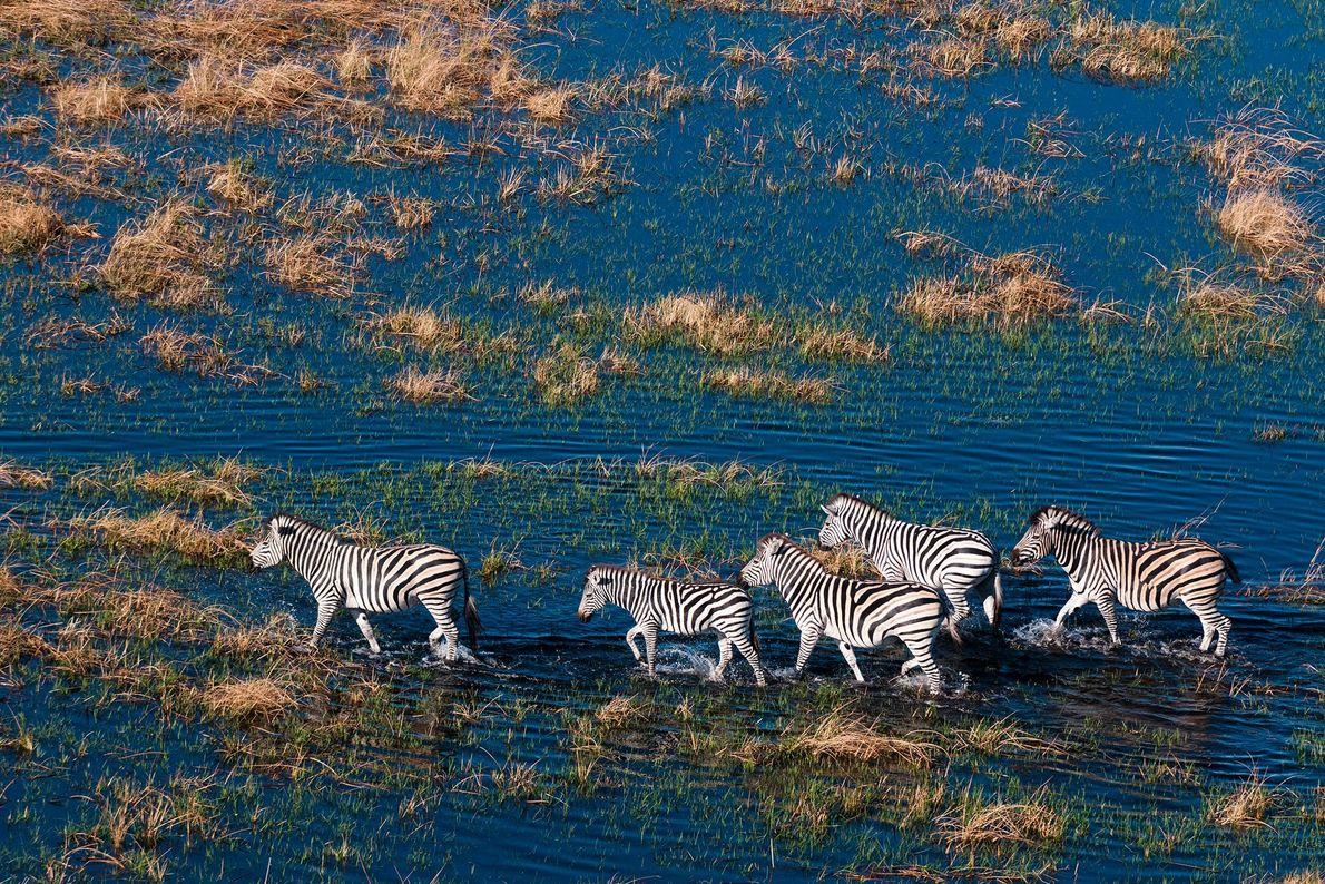 Eine Luftaufnahme von Zebras, die durch eine Aue im Okavangodelta in Botswana laufen.