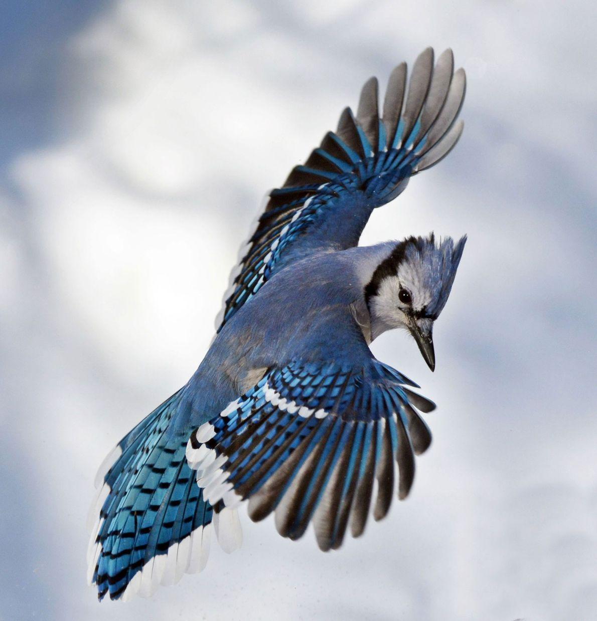 Blauhäher