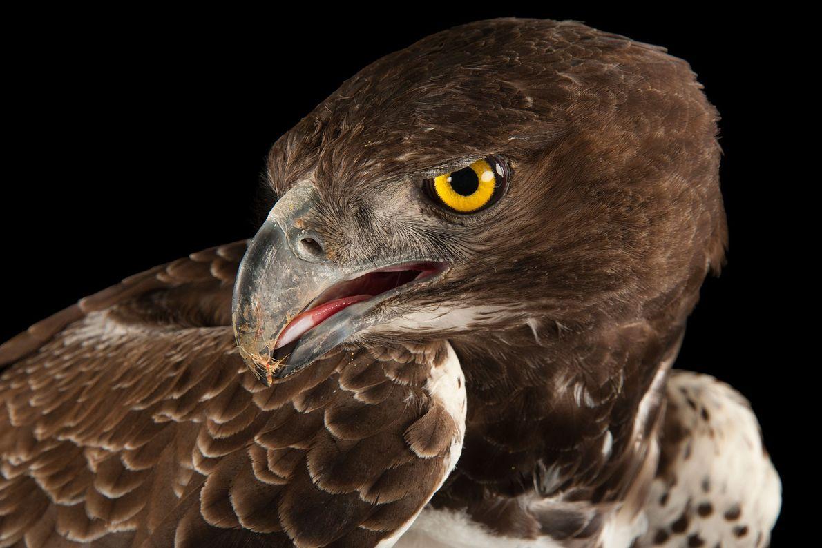 Ein Kampfadler (Polemaetus bellicosus) am Tampa's Lowry Park Zoo. Der größte der afrikanischen Adler kann es ...