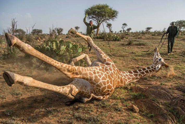 Ranger fangen eine Giraffe