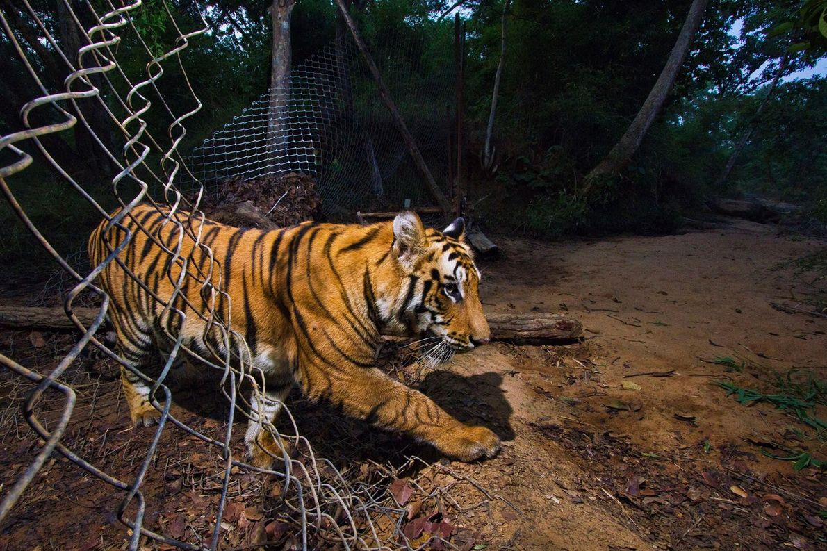 Tiger schlüpft durch Zaun