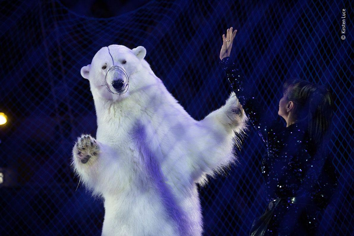Zirkus-Eisbären