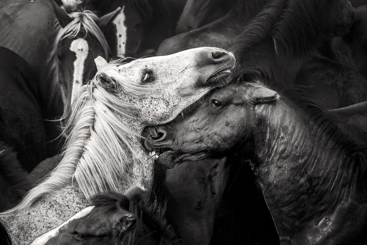 Pferde. Sabucedo, Galizien, Spanien