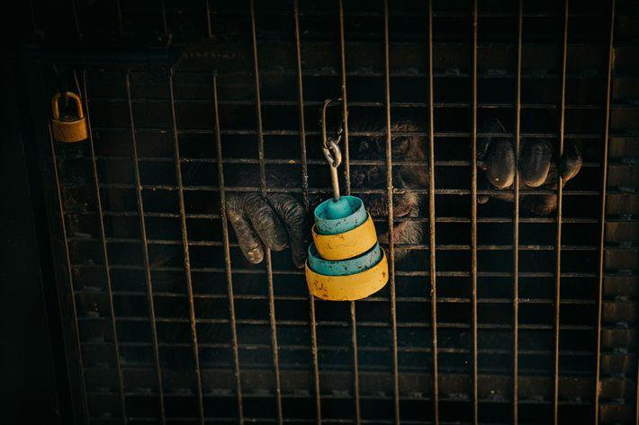 Ein ehemaliger Laborschimpanse greift nach Leckereien in gestapelten Plastiktassen, die an der Außenseite seines Geheges bei ...