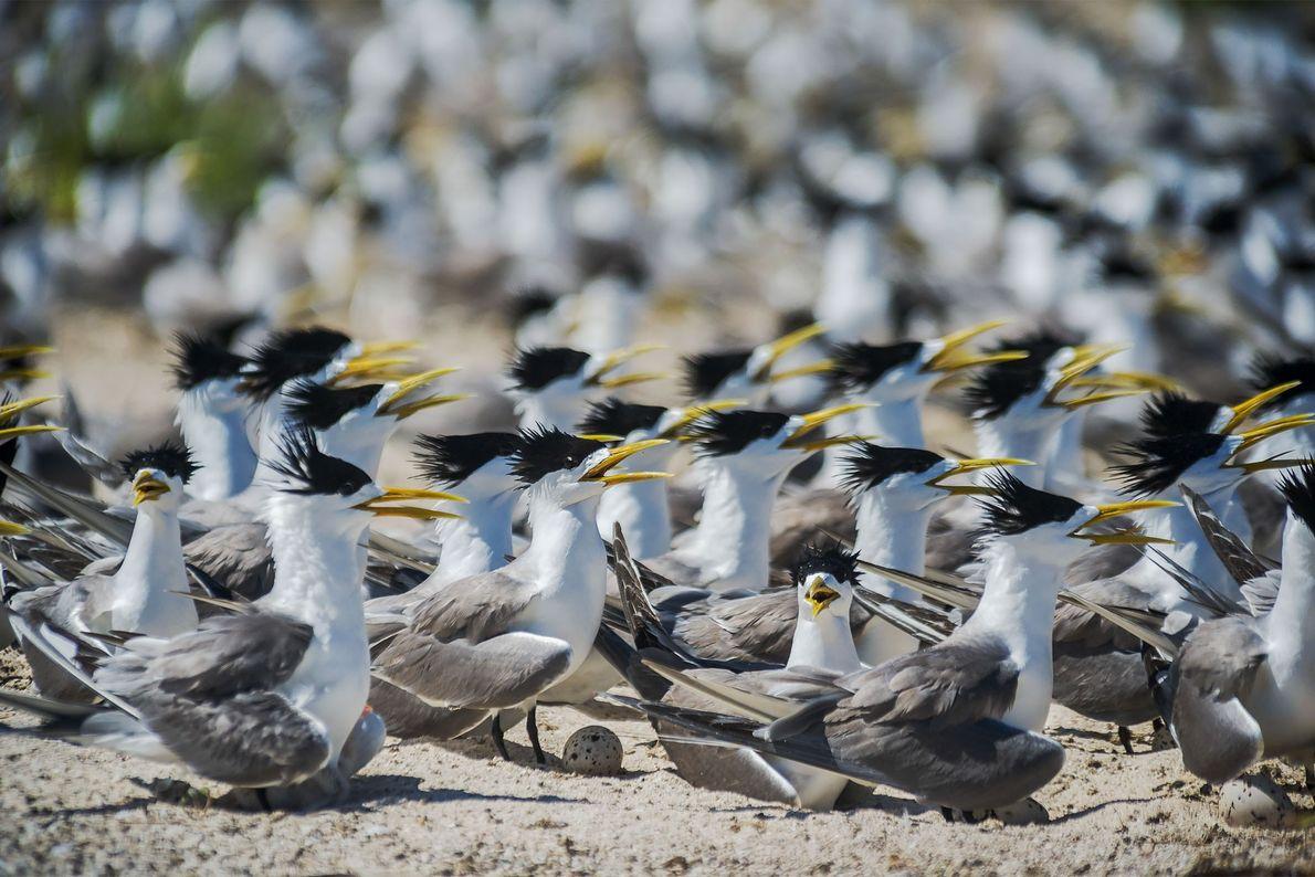 Eilseeschwalben nisten auf Bird Islet auf dem Nordatoll von Tubbataha. Das Riff ist ein wichtiger Zufluchtsort ...