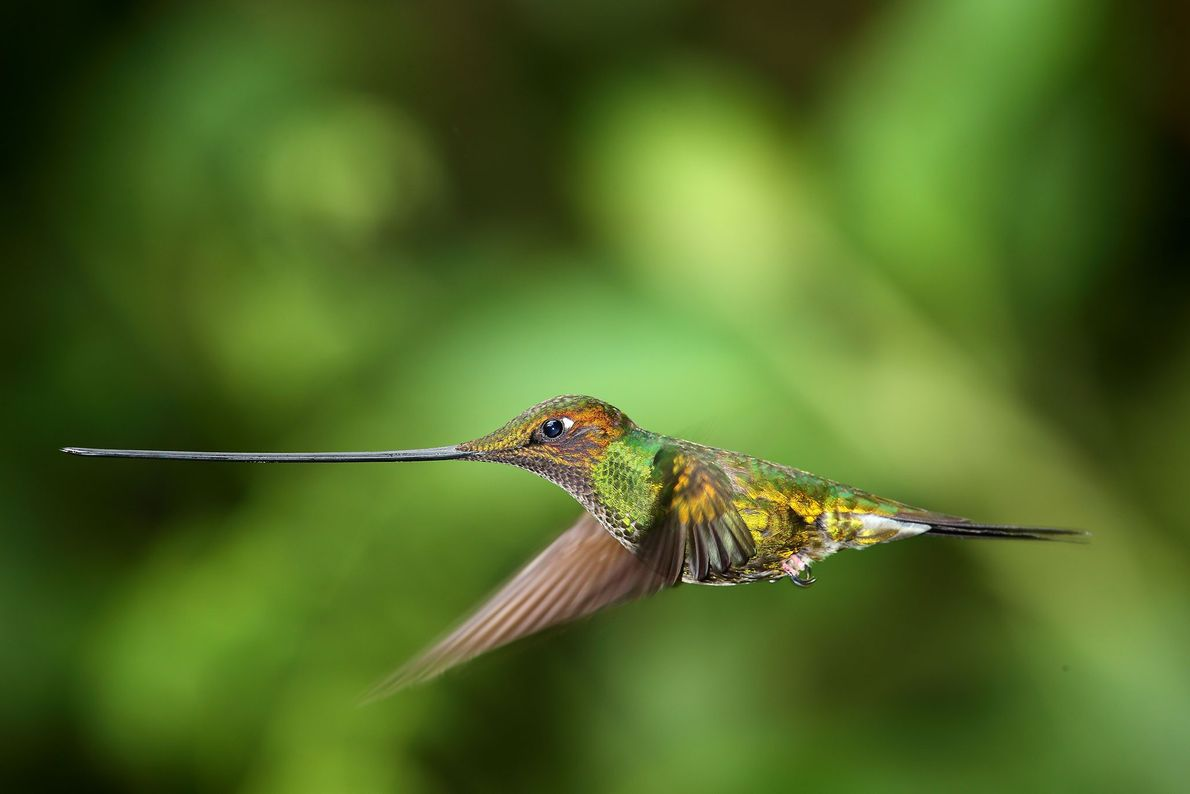 Schwertschnabelkolibri. Ecuador.