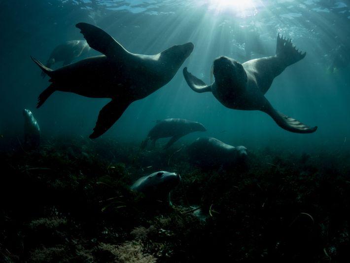 Australische Seelöwen – eine gefährdete Art – spielen im Meer vor Hopkins Island in Südaustralien. Da ...