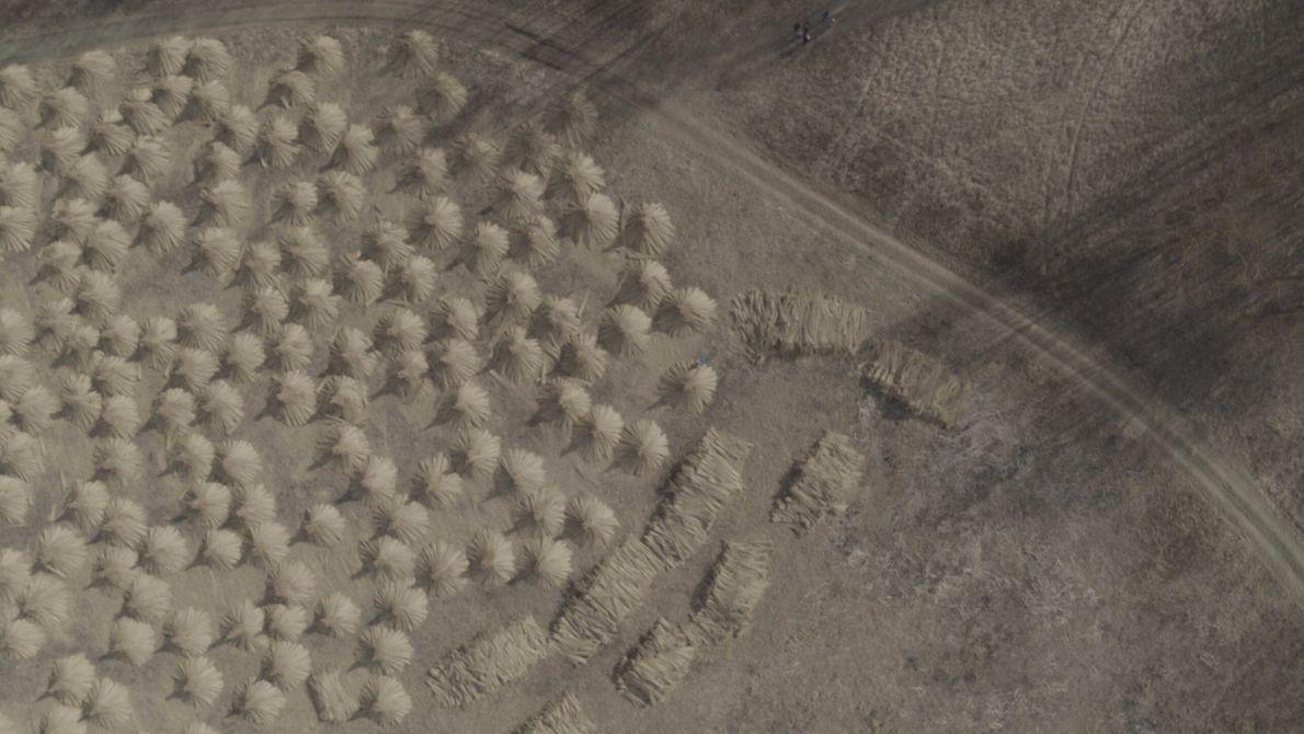 Ungarn: Der Weizen auf den Feldern wird mit traditionellen Methoden geerntet und zu Pyramiden aufgeschichtet, die ...