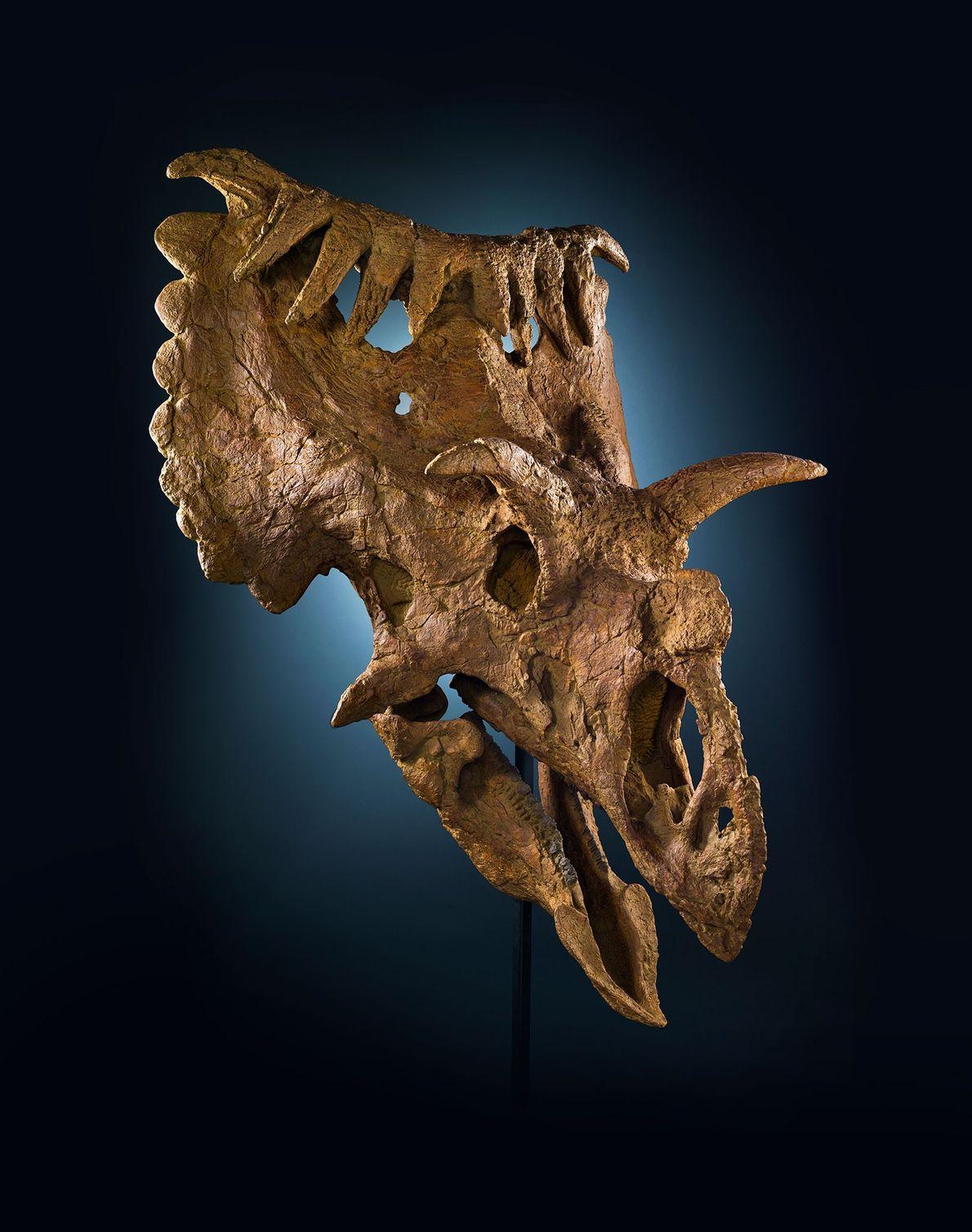 Dieser ungewöhnliche Schädel stammt von einem Verwandten des Triceratops namens Kosmoceratops richardsoni. Der nashorngroße Dinosaurier lebte ...