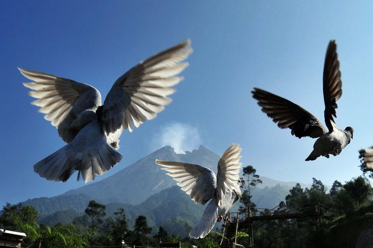 Diese Tauben nehmen Reißaus, als der Merapi in Indonesien sich am 4. Juni 2018 regte. Der ...