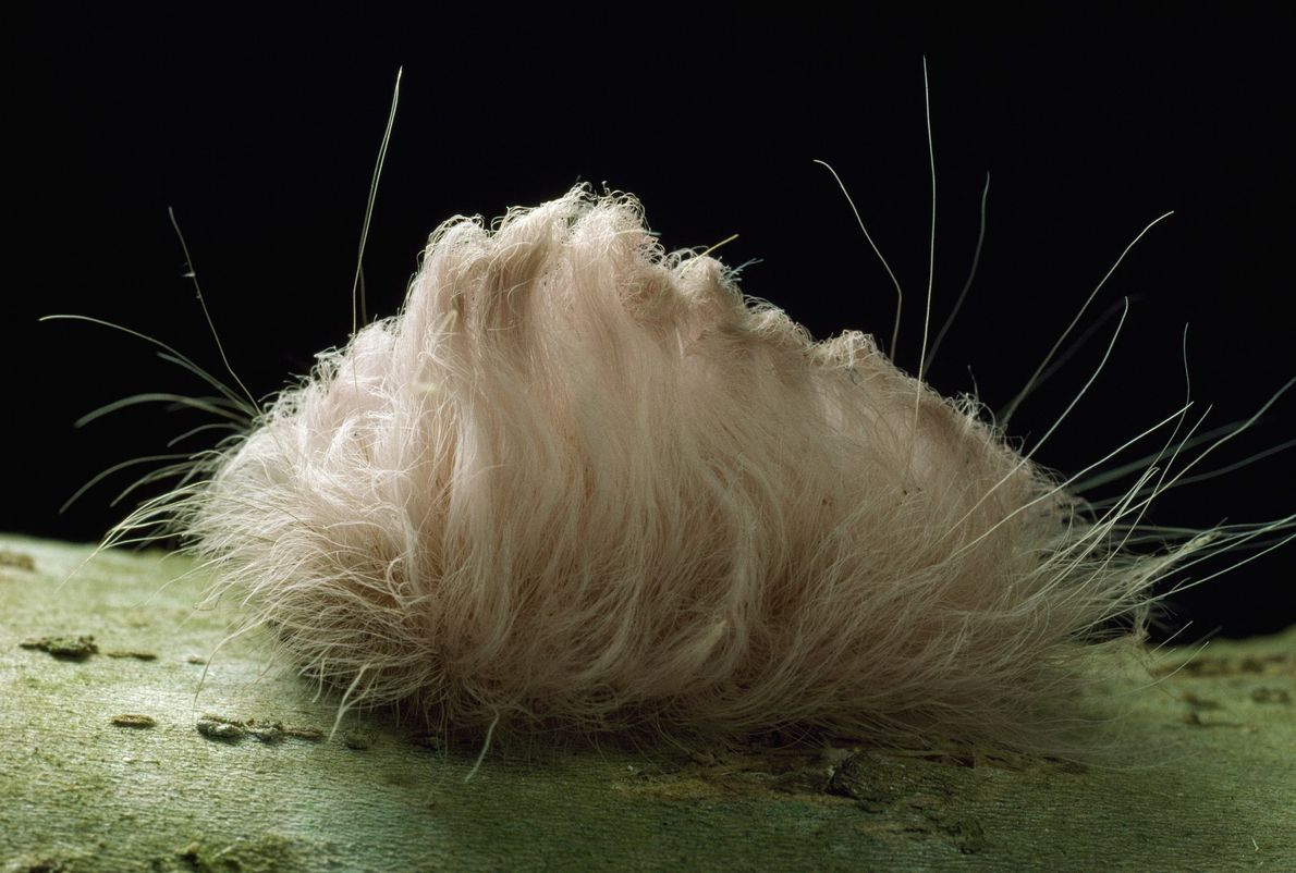 Diese Raupe des Falters Megalopyge opercularis sieht unwiderstehlich niedlich aus. Allerdings sollte man unbedingt die Finger ...