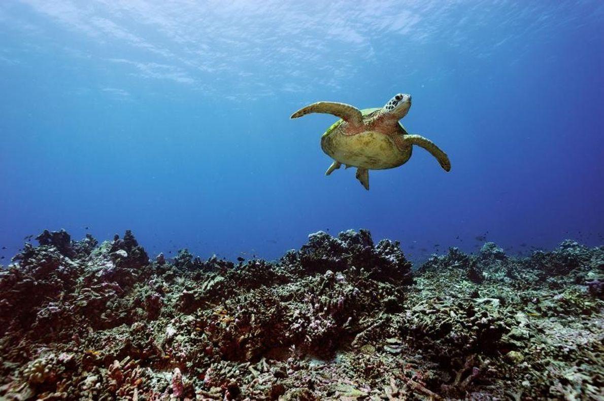 Eine Suppenschildkröte schwimmt bei den Phoenixinseln über Korallen hinweg.