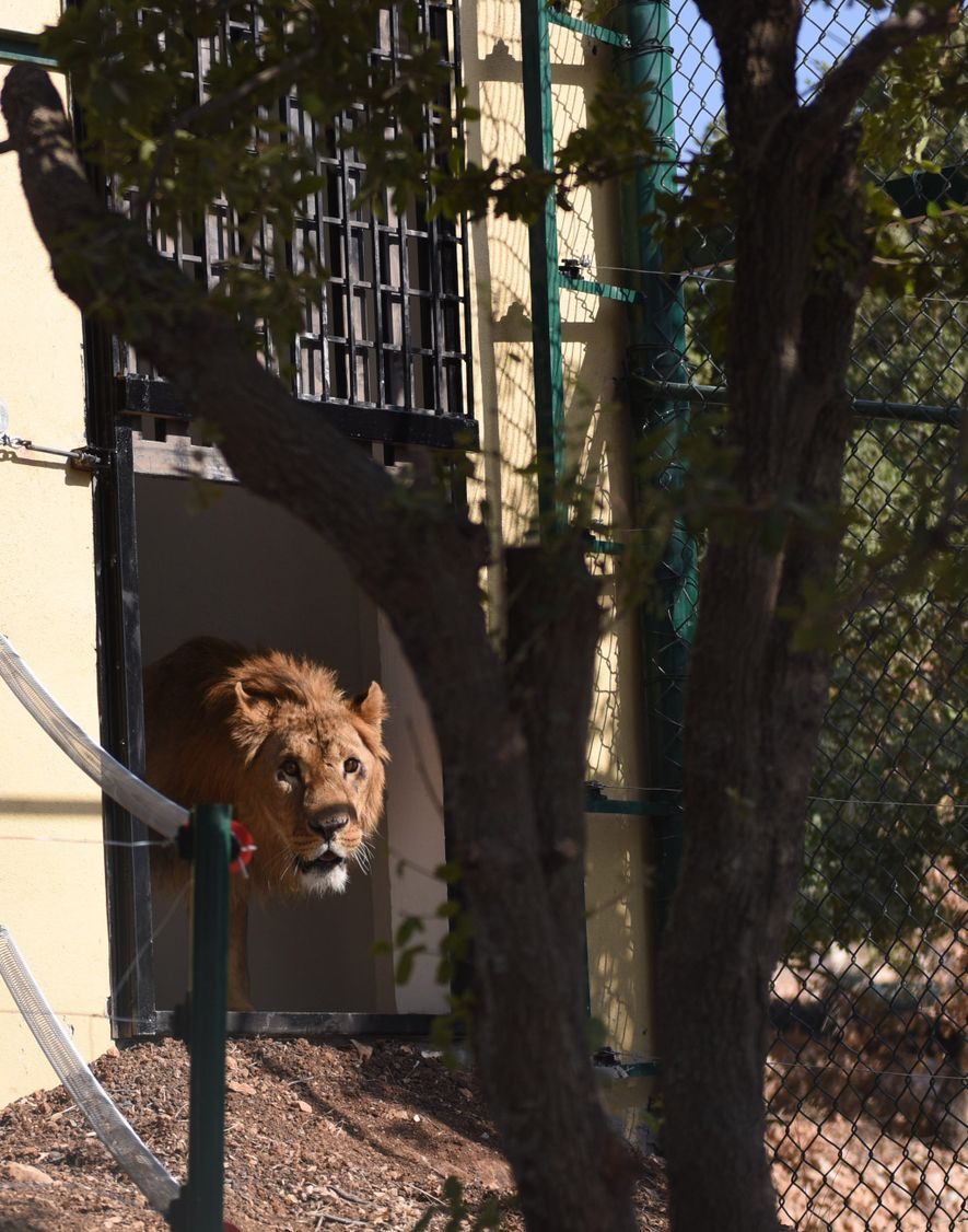 Ein Löwe erkundet sein neues Gehege in Al Ma'wa im Jordan. Genau wie Menschen leiden auch ...