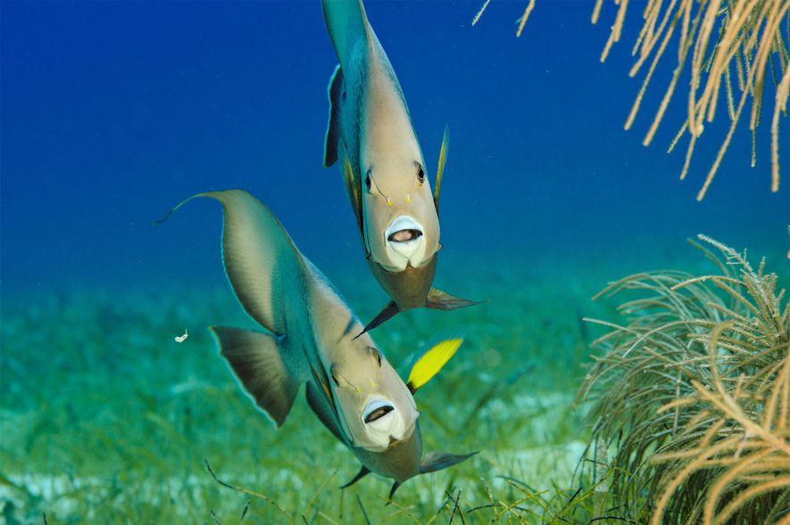 Graue Kaiserfische sind im Lighthouse Reef auf Nahrungssuche.