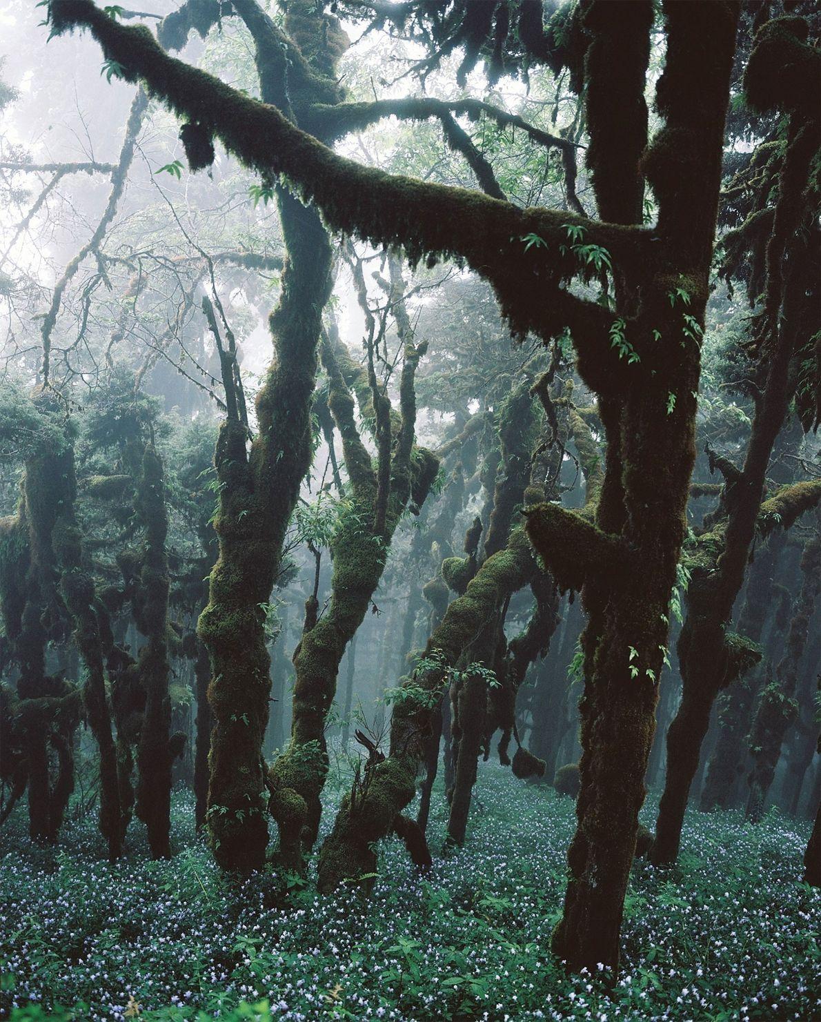 In diesem Wald in Bhutan bilden die Bäume eine dichte Laubdecke. Bhutans Verfassung garantiert, dass 60 ...