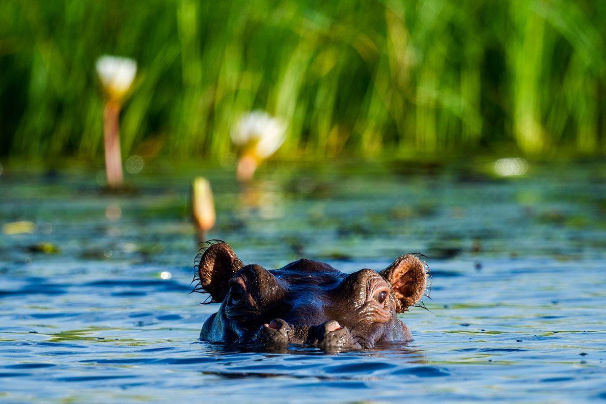 Ein Nilpferd blickt am Rande eines schilfbewachsenen Flussufers im Chobe-Nationalpark in Botswana aus dem Wasser.