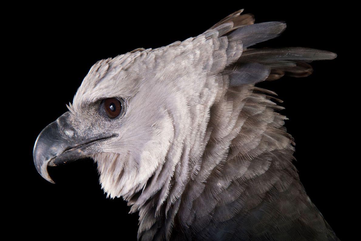 Eine Harpyie (Harpia harpyja) im Zoo von Los Anglees. Die Art bewohnt die tropischen Wälder Mittel- ...