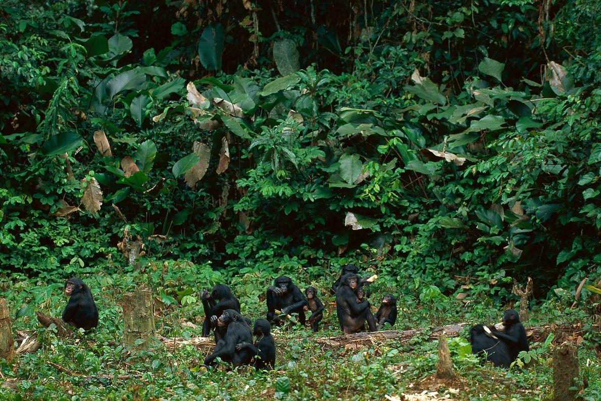 Eine Bonobofamilie sitzt auf einer Lichtung in der Demokratischen Republik Kongo.