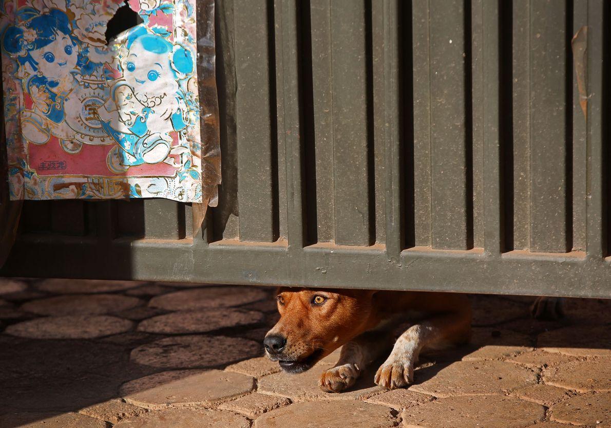 Ein Hund schaut unter dem Tor eines Hauses in der ruandischen Hauptstadt Kigali hervor.