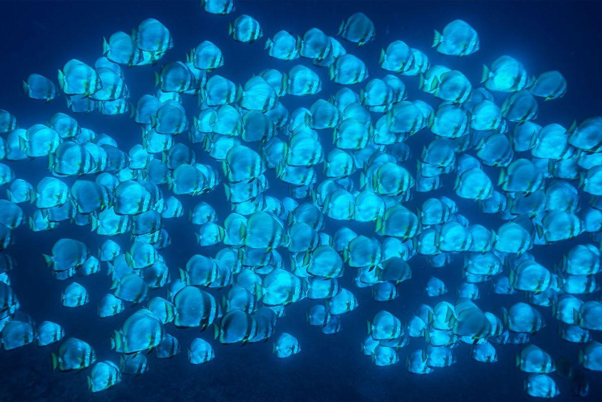 Ein Schwarm Fledermausfische schwebt durch die Tiefen von Tubbataha. Etwa 600 Fischarten bewohnen die Gewässer des ...