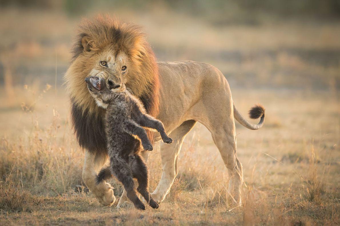 Löwe und Hyäne. Masai Mara, Großer Afrikanischer Grabenbruch, Kenia.