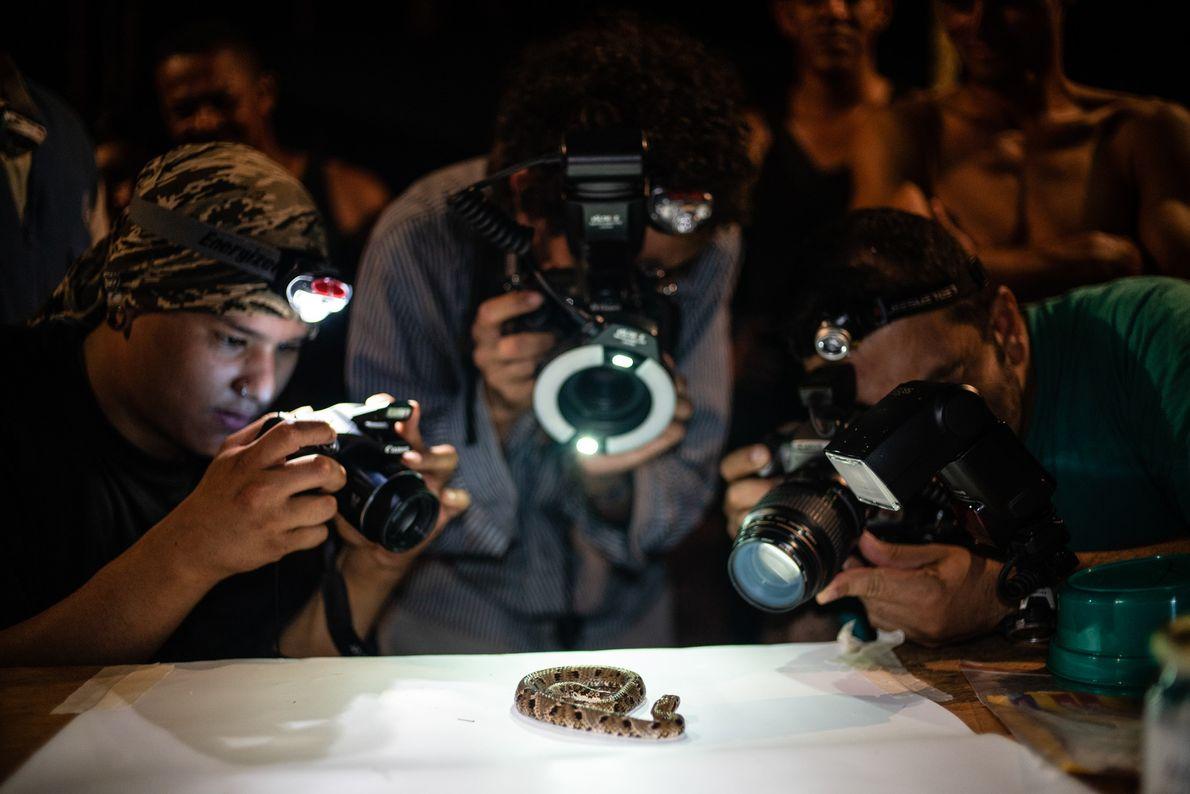 Wissenschaftler fotografieren eine giftige Natter der Art Xenodon rabdocephalus.
