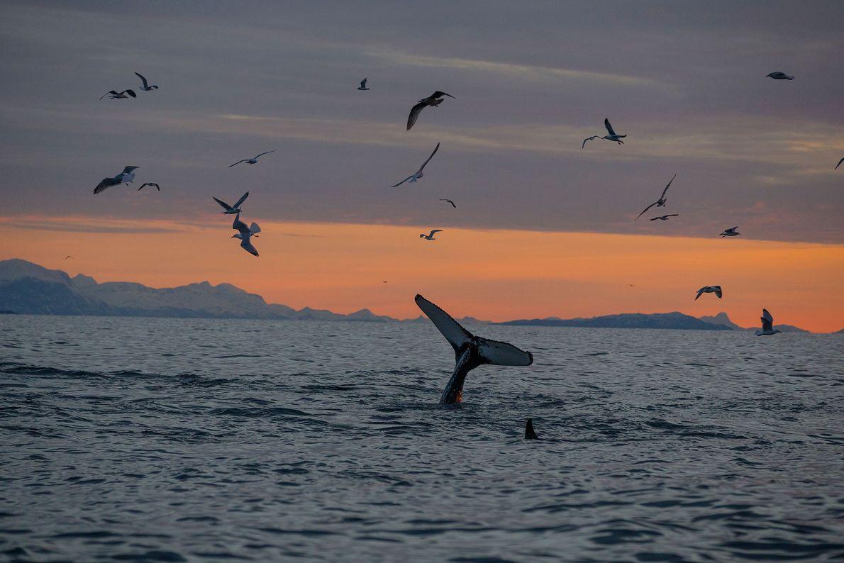 Die Schwanzflosse eine Orcas durchbricht im Andfjord die Wasseroberfläche, als der Wal abtaucht, um Heringe zu ...
