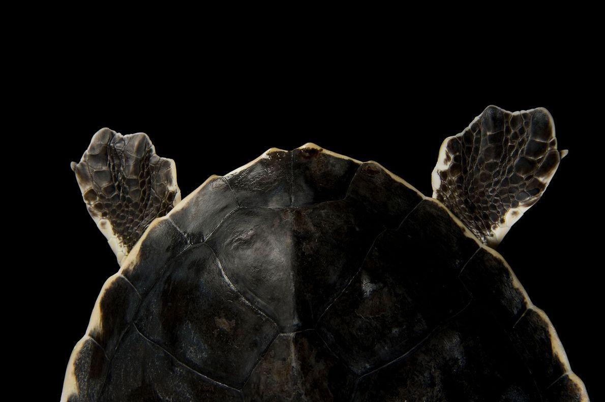 Atlantik-Bastardschildkröte