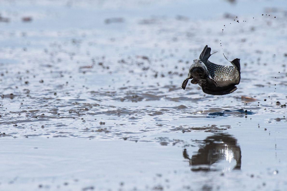 Das Watt ist ein Paradies für Schlammspringer und Vögel.