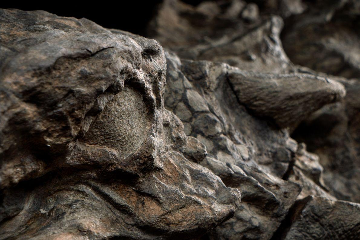 Nodosaurus von vorne