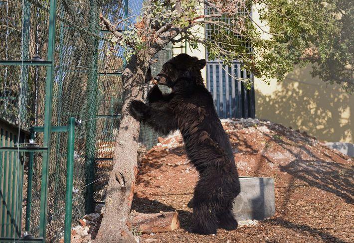 Das Gehege der Kragenbären in Magic World war voller Granatsplitter, und die Zähne der Tiere waren ...