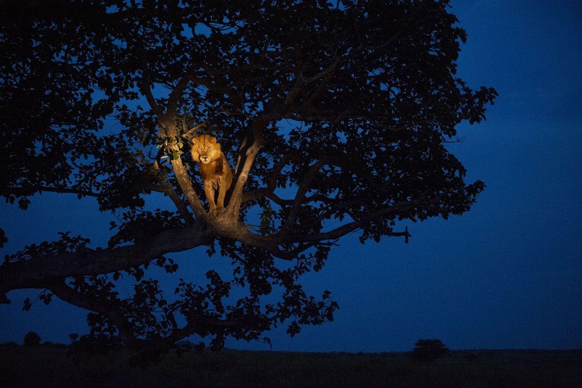 Ein Afrikanischer Löwe wird im Queen-Elizabeth-Nationalpark in Uganda vom Licht eines  Scheinwerfers geweckt.