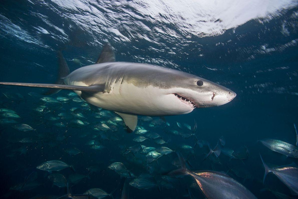 Ein Weißer Hai schwimmt im Meer vor den Neptune Islands.
