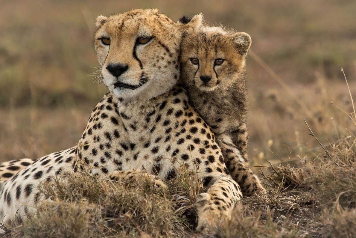 Gepardenjunges
