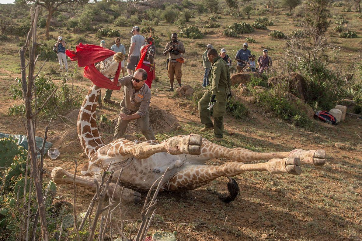 Ranger lassen eine Giraffe frei