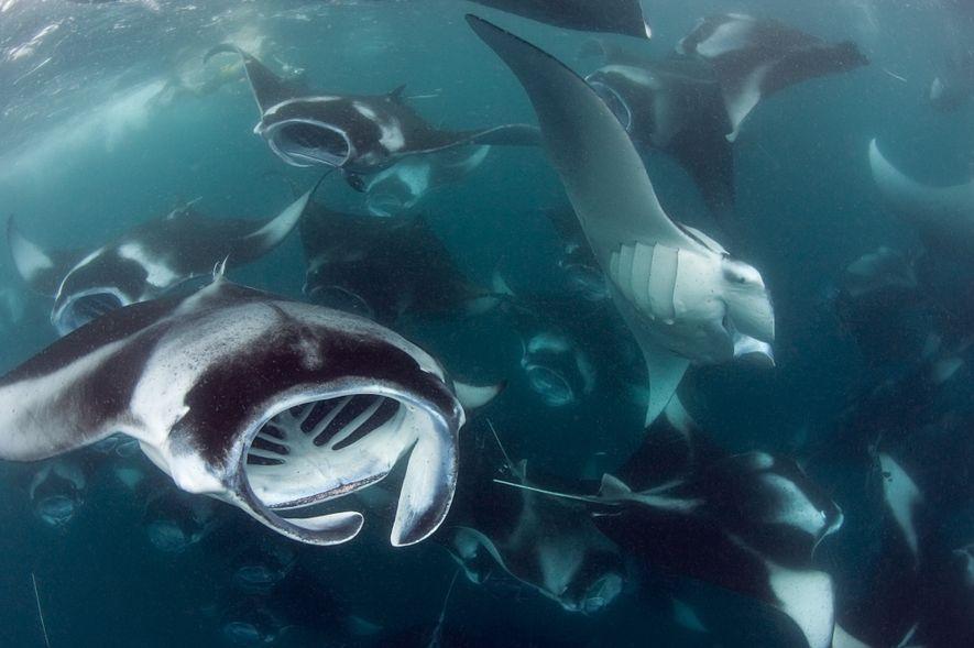 Die Malediven sind die Heimat des weltweit größten Riffmanta-Bestands.