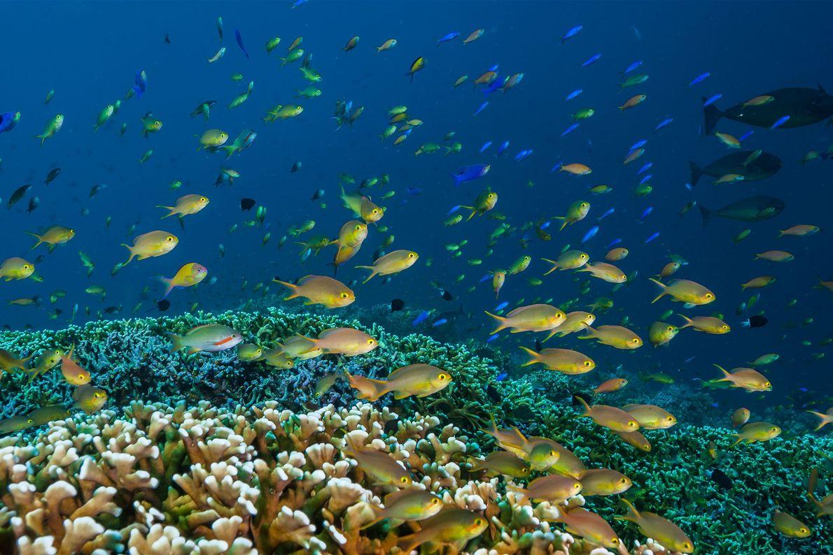 Fahnenbarsche schwimmen über eine Korallenwiese. Tubbataha wurde 1988 erstmals zum Schutzgebiet erklärt und fünf Jahre später ...