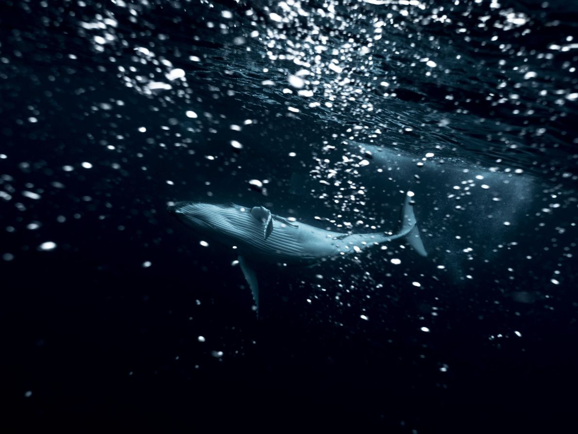 Ein Buckelwalkalb spielt unter der Wasseroberfläche im Meer vor Tonga. Skovranova bleibt vorwiegend im flachen Wasser, ...