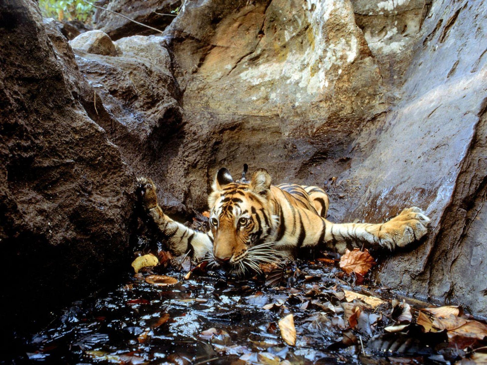 Diese Aufnahme stammt aus einer Kamerafalle und zeigt einen Tiger im indischen Bandhavgarh-Nationalpark, der sich in ...
