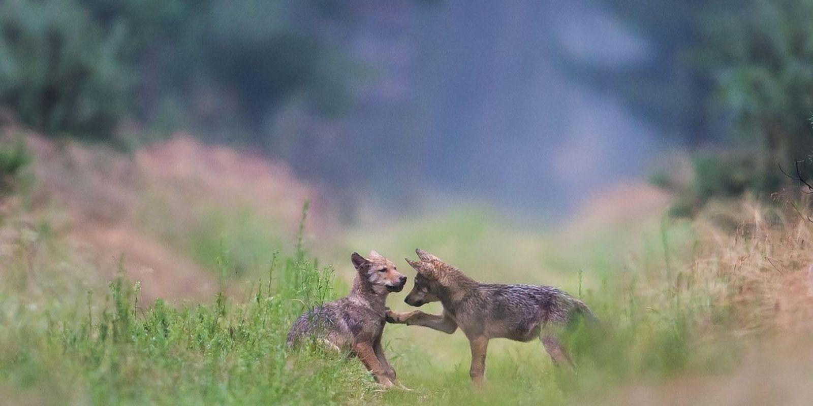 """""""Wir müssen wieder lernen, mit dem Wolf zu leben"""""""