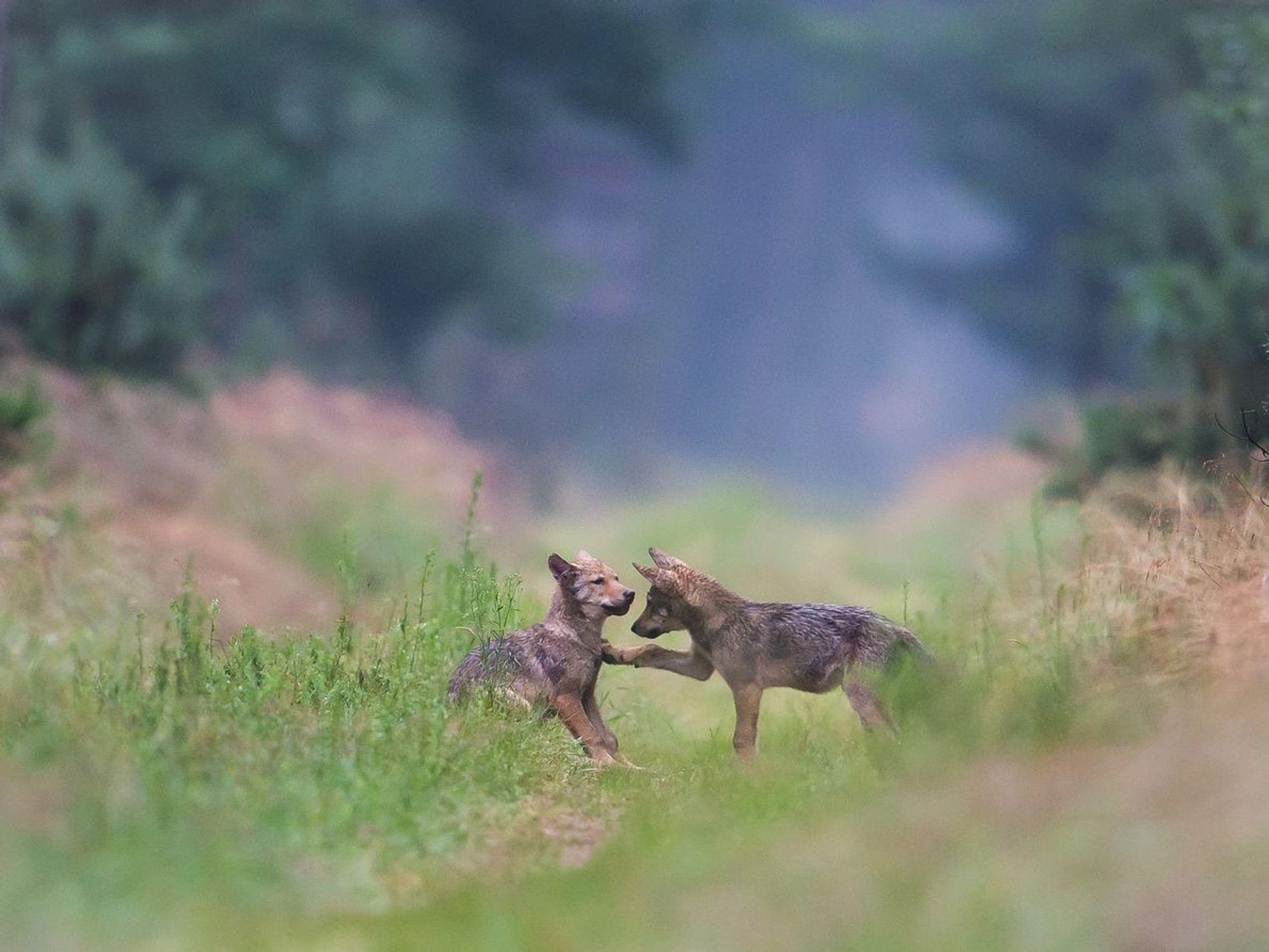 Wolfsnachwuchs