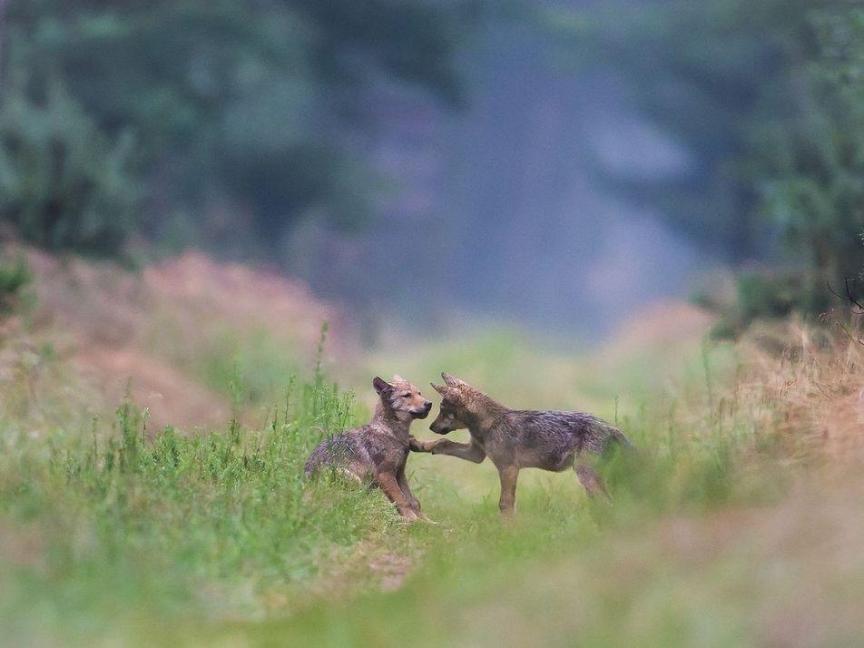 Auf der Spur der deutschen Wölfe