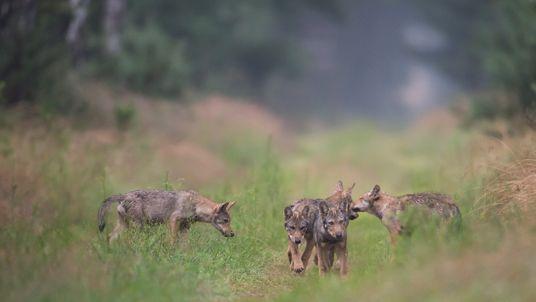 Immer mehr Wölfe in Deutschland werden illegal getötet