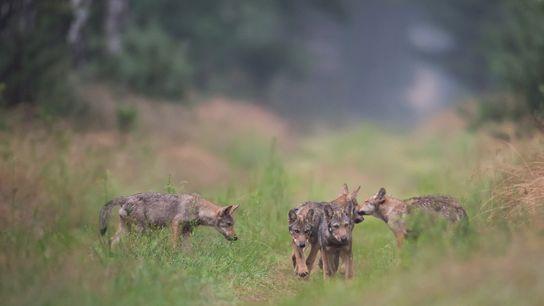 Nachwuchs in Deutschland: Immer wieder werden Wölfe gewildert.