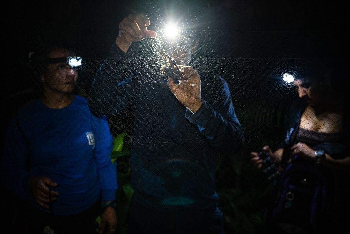 Der Säugetierforscher und Expeditionsleiter Juan Fernando Diaz entfernt mit der Hilfe von zwei ehemaligen FARC-Rebellen vorsichtig ...