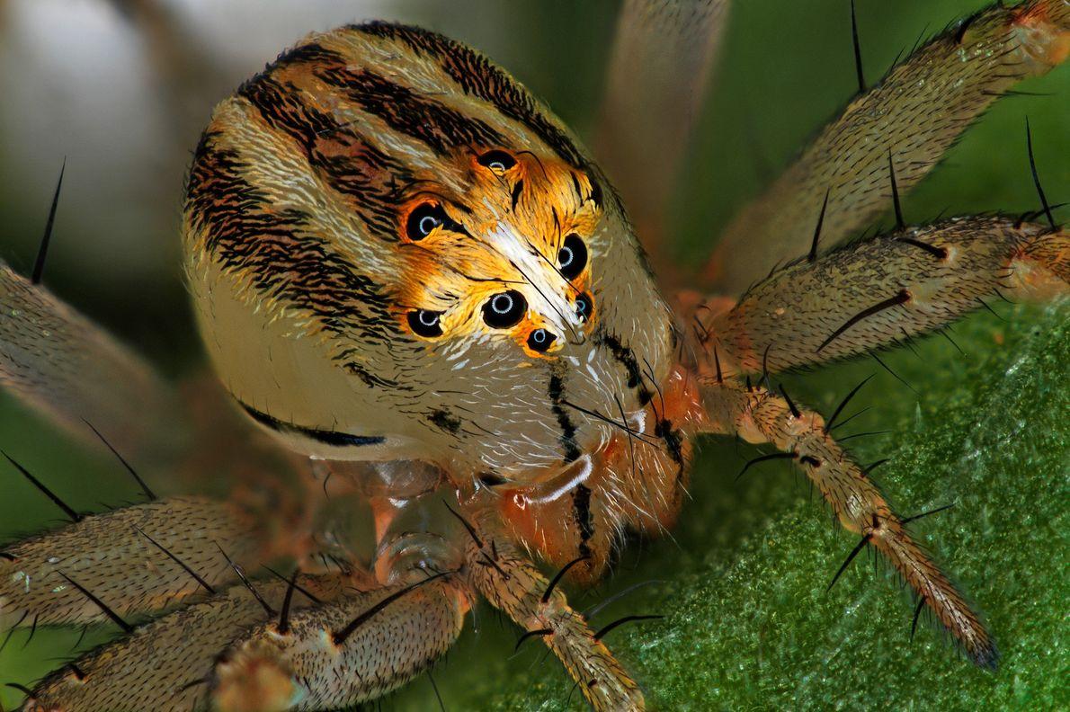 Der französische Entomologe Antoine Franck kreierte dieses Bild einer weiblichen Luchsspinne der Art Oxyopes dumonti. Die ...
